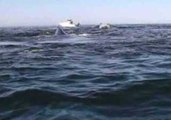 Kayaker Is Surrounded by Whales