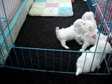 Cute Maltese Puppies Playing