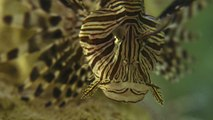 Invasion of the Lionfish - Part 1 - The Invaders