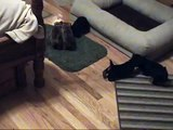 Australian Terrier Puppies 5 Weeks