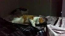 Gatto rosso gioca Red cat play