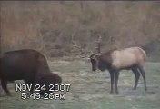Bull Elk fights Bull Buffalo