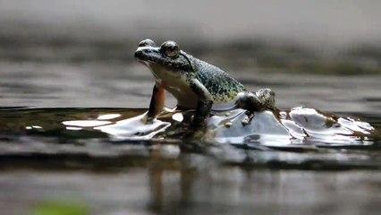 Image result for kajika Japanese singing frog