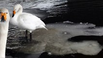 A Whooper Swan Using an Ice Raft as an Elevator