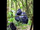 Mountain Gorillas in Rwanda - the oldest silverback