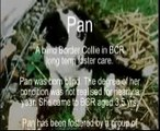 Border Collie Rescue - Pan - A blind rescued Border Collie