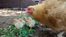Momma Buff Orpington Hen with new Chicks