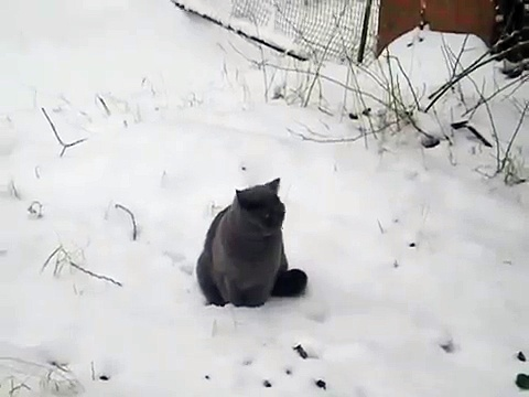 Blue British shorthair in Snow