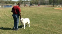 Guy Nashville Dog Trainer 028: Training a Great Pyrenees Basic Obedience.