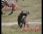 animales salvajes mundo salvaje hiena cazando a una cebra