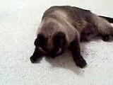 Gimme Your Catnip!  (Siamese Cat & Siamese Kitten)