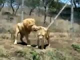 Lions Fight Lioness vs  Lion  Animal Fights   Animal Attacks  Funny  Animal   HD 360p