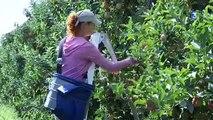 Yonne : la récolte des pommes bat son plein