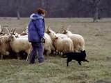 Böbebaba, 7 months old mudi puppy, herding sheeps