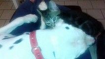 Mon chaton Chipie et mon Dalmatien Elios
