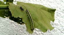 Amazing & Beautiful Green Caterpillar Fight With Big Black Ant - Animal Planet - Nature Documentary HD