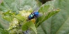 Amazing Beautiful & Colorful Housefly On Tree - Animal Planet - Nature Documentary HD