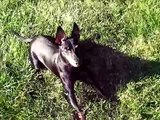 Toy Manchester Terrier Plays Fetch*