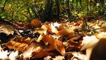 Cèpes - Boletus Edulis - Boletus pinicola - Funghi Porcini - Boletus aereus