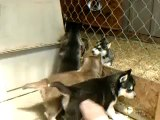 5 week old Siberian Husky Puppies Playing