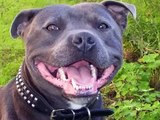 O incrível Staffordshire Bull Terrier. The incredible Staffs.