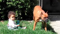 chien boxer  Ma rosa story