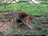 Découvrez le moment où ce lion, pour la première fois de sa vie, pose sa patte sur l'herbe.