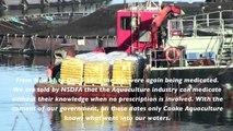 Atlantic salmon farms: Medicate, medicate, medicate