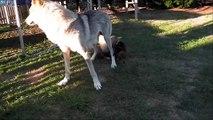 Vidéo enfants et chiots chiens loups tchecoslovaques agés 29 jours elevage akairo 2013