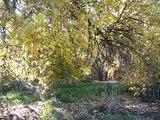 Osage Orange Trees in Autumn--at Cotton's Weir, Forbes, NSW, Australia