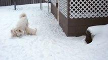 Samoyed Puppies, 6 weeks old