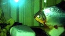 Pirana Köpek balığı Vatoz Kedi balığı akvaryum