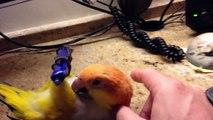 Der süßeste Papagei der Welt -  er - ist nur süß knutell- knutell - super süß nä