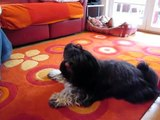 Tibetan terrier singing - Doegar MiniMiss - Yemaya Assessu - Deva Premal