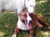 English Bull Terrier Fun!