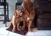 Huge Dogue de Bordeaux @ Stout Bordeaux father and son....
