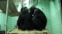 Bonobo-Familie beim Kuscheln / Bonobo family cuddling