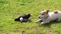 Bird Playing With Dog - Australian Magpie Playing