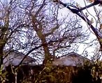 Rooks in Ash tree.
