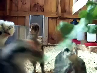 Chickens at three weeks