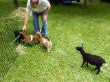 Buttermilk Sky, le chevreau joue avec ses amis chèvres - vidéo dailymotion