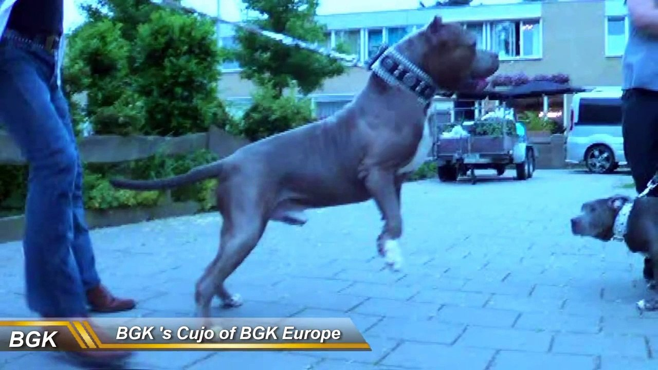 Big Bully pitbull Dog Collars Best custom dog collars feat BGK's The Rock  pit bull