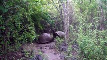 Galapagos Islands Tortoises Face Off on a Narrow Path