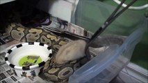|Feeding Ball Python Collection July 2014|