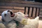 Cuteness Overload - Maltese Puppies