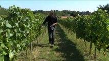 Vendanges : la cueillette des raisins débute en Vendée