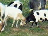 Chèvres miniatures des Tourelles - Excitation et jeux de notre chèvres toys !