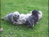 Mother and Puppies really cute Dandie Dinmont Terriers playing in Garden