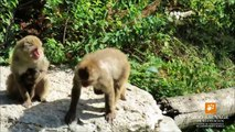 soins maternels bébés macaques japonais maternal care Japanese macaques babies Zoo suavage de St Fél