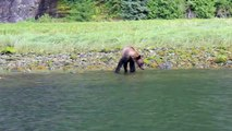 Grizzly Bear Waves us Farewell at Muscle Inlet Great Bear Rainforest BC Canada